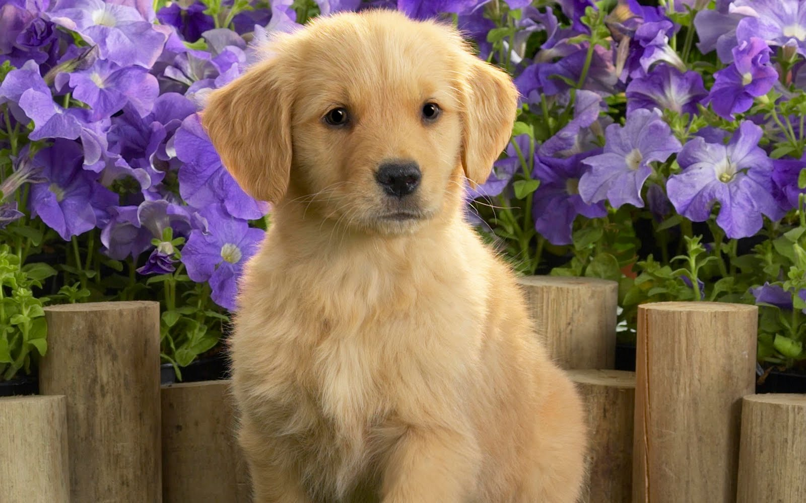 Le choix d'un golden retriever