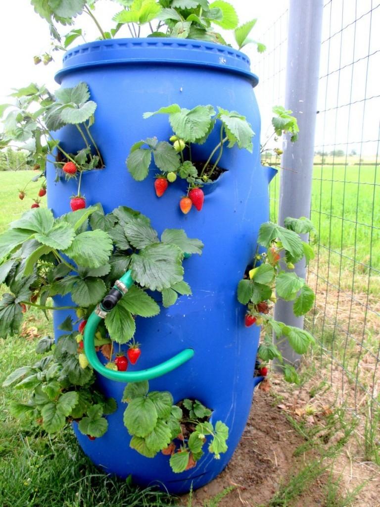 Comment planter les fraises